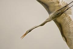 Heron Nation 06.25.2016.01 (nwalthall) Tags: sanantonio herons egrets