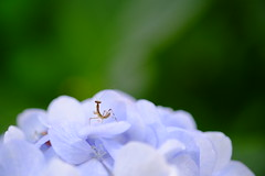 Stage (Minami45) Tags: japan mantis  fujifilm hydrangea    xpro1