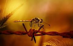 Dragonfly (Delbrücker) Tags: dragonfly libelle macro makro insect insekt natur nature lights licht outdoor animal tier nikond610 nikkor105mm