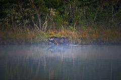 Brazilian Tapir (Spectacle Photography) Tags: brasil brazil tapir water fog mist bigtank santuriodocaraa minasgerais wildlife moments earth wildlifewatching wilderness rare elusive tapirusterrestris anta outdoor d750 nikon spectaclephotography nature