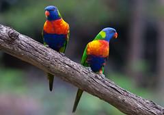 Rainbow lorikeets (dicktay2000) Tags: canonef100400mmf4556lisusm lanecovenationalpark richardtaylor 40d australia nsw sydney
