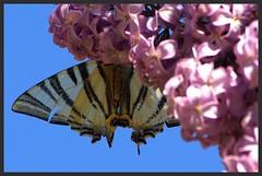 """Le Flamb"" IMGP6058 (robert.fr.22) Tags: flowers fleurs papillon flore lilas papillons iphiclidespodalirius leflamb"