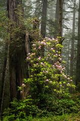 flowering bush (Sam Scholes) Tags: california pink flowers trees plants mist green beautiful fog digital forest landscape bush nikon blossoms redwoods klamath d300 floweringbush