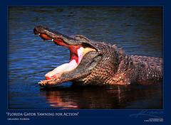 Large Florida Alligator Yawning for Some Action (Captain Kimo) Tags: water mouth orlando open florida gator teeth alligator hungry wading yawning gatorland photomatix tonemapped singleexposurehdr