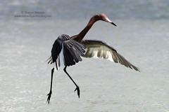 Reddish Egret (Egretta rufescen) (Sharon's Bird Photos) Tags: nature water florida wildlife birding leecounty fortmyersbeach reddishegret littleesterolagoon newlifer egrettarufescen