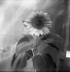 Brownie Sunflower (BunnySafari) Tags: bw film garden toycamera grain sunflower browniehawkeye flippedlens fpp ilford400 autaut bunnysafari summer2011