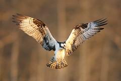 Osprey (Mark Schwall) Tags: flight manualfocus osprey goldenhour specanimal cattusisland tomsrivernewjersey birdperfect onlythebestofnature amazingwildlifephotography