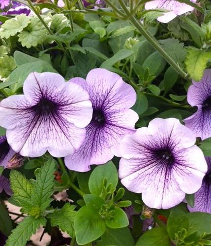 Purple Veined Petunia