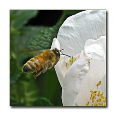celebrate the worker (mimbrava) Tags: bee mimbrava arr mayday ccd honeybee allrightsreserved rugosarose pollinator apismellifera threatened mimeisenberg mimbravastudio beesbeesbeesadminfave