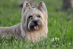 Sadie (Glimpse of Life Photography) Tags: dog terrier cairnterrier wheaton thegalaxy