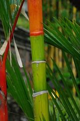 Red And Green (Keith Mac Uidhir 김채윤 (Thanks for 4m views)) Tags: red bali plant tree green nature leaves gardens garden indonesia asian island asia asien natural south palace bamboo east asie hindu indonesian aasia asya á hindi indonesië indonesien ubud balinese azia azië بالي ásia indonésia インドネシア indonésie 亚洲 バリ島 亞洲 châu indonezja 巴厘岛 印度尼西亚 인도네시아 발리 아시아 endonezya آسيا востраў ázsia азия indonesya ινδονησία indonézia indonezia μπαλί ασία बाली балі indunisia индонезиэ азиэ બાલી