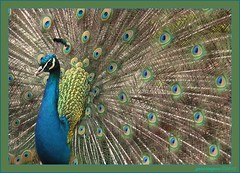4apr12   pronkstuk.... (guus timpers) Tags: groen blauw geel kleurrijk kleuren pauw tooi verenkleed pauweveren httpenwikipediaorgwikipeafowl httpnlwikipediaorgwikipauw28vogel29