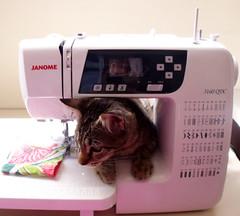 kimi  costurando ... (Lavanda Artes) Tags: pet cat chat kitty gato neko katze filhote costura