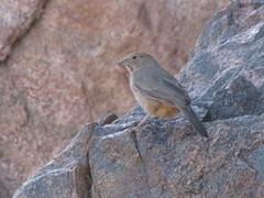Canyon Towhee (HeidiG71) Tags: bird nature colorado wildlife towhee canyontowhee pipilofuscus cañoncity tunneldrive