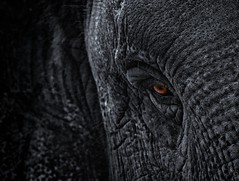 Red Eye (Explored) (chmeermann | www.chm-photography.com) Tags: bw elephant eye zoo blackwhite nikon hamburg sw nikkor tierpark schwarzweiss elefant auge hagenbeck 70300 colorkeying d80 highqualityanimals