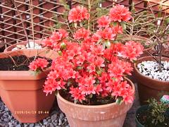 AZALEA (LesD's pics) Tags: flowers blossom azalea naturespaintings