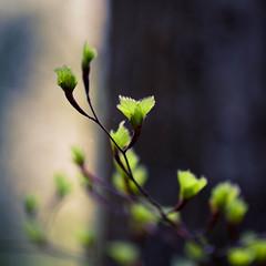 Chabana (arbeer.de) Tags: wood tree green forest buchenwald spring may mai bud grn wald bltter beech frhling buche maigrn