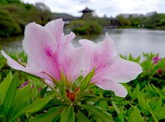 Azalea (love_child_kyoto) Tags: park travel flower macro japanesegarden spring pond kyoto gardening may  azalea    pinkflowers       heianjingushrine  artisticflowers   leicadlux5  dlux5