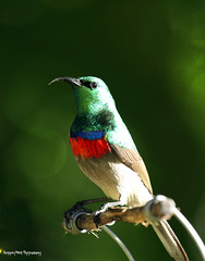 Perched (Anthony West Photography) Tags: bird sunbird doublecollaredsunbird