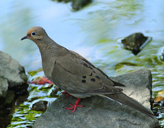 Mourning Dove at Armstrong Park in High Point North Carolina - Guilford County (fazer53) Tags: bird nature birds canon photography flickr dove wildlife photographers northcarolina highpoint carolina mourningdove ornithology doves flicker canonef300mmf4l guilfordcounty photographersshowcase canon2ti canoneoskissx4 fazer53