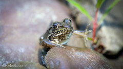 "Small Green Frog (Rana clamitans) ""waving"" (DaveHuth) Tags: creek forest small amphibian frog houghton greenfrog clamitans taxonomy:binomial=rana taxonomy:binomial=ranaclamitans duskyravine"