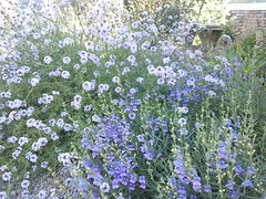 verbena and penstemon (flora-file) Tags: california plants garden tour gardening wildflowers horticulture natives bringingbackthenatives