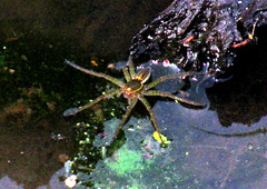 water spider at night (natureburbs) Tags: spider waterspider newjerseywildlife spiderinwater