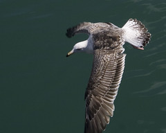 a food opportunity!  pt.7 (Wendy:) Tags: food seagulls bird 350d kitlens seal dunlaoghaire per2