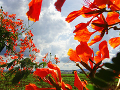 Set Fire to the Sky (osvaldoeaf) Tags: flowers red brazil sky orange tree green nature brasil clouds landscape petals spring blossoms goinia gois wonderfulworldofflowers