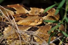 Timber Rattlesnake. (jdeboer152) Tags: wisconsin rattlesnake