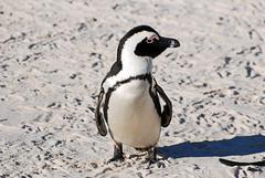 Cape Town_2012 05 16_0089 (HBarrison) Tags: africa capetown southafrica hbarrison harveybarrison tauck africanpenguin taxonomy:binomial=spheniscusdemersus