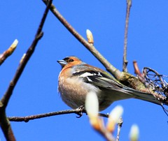 Chuffed (Gazasal) Tags: blue sky tree male bird spring branches twigs chaffinch gazasal