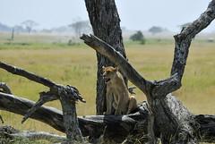 _GPP8461 (giandopesce) Tags: tanzania nikon ngorongoro d200 serengeti manyara seronera ndutu d700