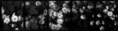 Nighttime daisy pentaptych (efo) Tags: bw daisies konica halfframe multiframe autoreflex caffenollc kodakso331 panduplicatingfilm efo:pick=1