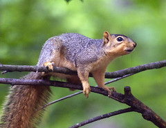 Squirrel (carpingdiem) Tags: animals spring foxsquirrel