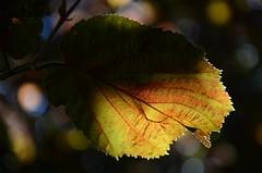 Leaf in the dappled sunlight (Julia Revitt) Tags: autumn france leaves dark leaf nikon bokeh chamonix florafauna d7000