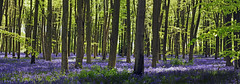 Micheldever panorama (jo92photos) Tags: uk england flower nature bluebells rural countryside spring wildlife countrylife bluebellwoods beechtrees hyacinthoidesnonscripta allrightsreserved micheldeverwoods impressedbeauty myfuji jo92photos giveusyourbestshot wildlifecountryside hs20exr 522012week19