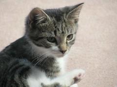 cute kitten (carol_malky) Tags: cute kitten belongstoafriend ca12weeks