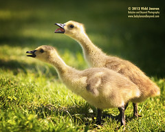 The Duet - And Putting a Pretty Bit of Tongue Into It (Babylon and Beyond Photography) Tags: baby lake cute nature animal tongue nikon singing wildlife duet adorable goose gosling yelling argyle canadagoose babylonvillage babylonandbeyond