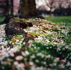 rooted. (manyfires) Tags: pink tree film grass oregon mediumformat square portland petals spring cityscape blossom roots ground hasselblad bloom sakura pdx cherrytrees rooted waterfrontpark hasselblad500cm