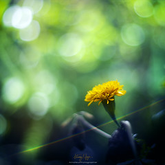 Watching the galaxy (Nguyn Hong (Mattoet)) Tags: flower macro closeup leaf petals natural vietnam l lanscape hoa hoangnguyen thinnhin cnh nguyenhoangarc