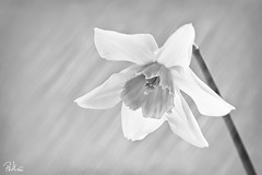 Why So Sad? (Paul-M-W) Tags: lighting light blackandwhite rescue white painterly black flower photomanipulation photoshop grey stem focus key paint curtain smooth smudge blurred daffodil brushes bloom bud smear delicate streaks painteffect rescued blending lightstreak sidelit sidelight