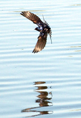 Swallow water (Mr Grimesdale) Tags: birds swallow stevewallace mrgrimesdale