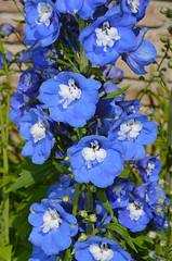 Blue delphinium (Perl Photography) Tags: flowers blue plant nature floral garden botanical petals spring flora colorful gardening vibrant blossoms stamen blooms horticulture delphinium springtime blooming