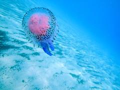miss pelagie (i) Tags: mer nikon jellyfish corse waterproof meduse mediterrannee aw100 pelagie