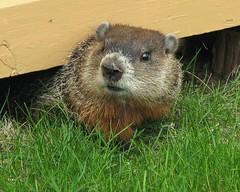 Marmotte -- Groundhog