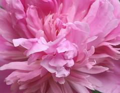 Pink (reinap) Tags: pink peony