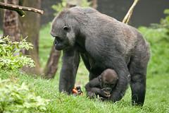 2012-05-31-10h31m56.272P8755 (A.J. Haverkamp) Tags: amsterdam dierentuin httpwwwartisnl artis thenetherlands gorilla pobrotterdamthenetherlands dob03061985 shambe pobamsterdamthenetherlands dob04092011 canonef100400mmf4556lisusmlens zoo shindy sindy