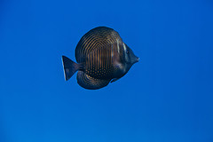 Sailfin Tang (Gatria) Tags: red sea house 3 fish canon underwater dolphin mark iii egypt free diving zee el 100mm snorkeling gouna l 5d 28 ef mk tang rode unterwasser onderwater ikelite