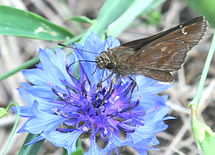 Clouded Skipper - (Lerema accius) On Blue Flower (jwinfred) Tags: macro nature mississippi nikon sigma insects delta 300mm cypress preserve greenville f4 d300